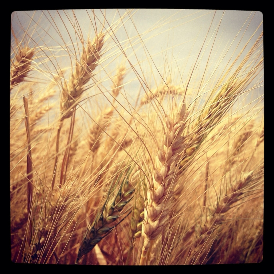 Wheat_Instagram